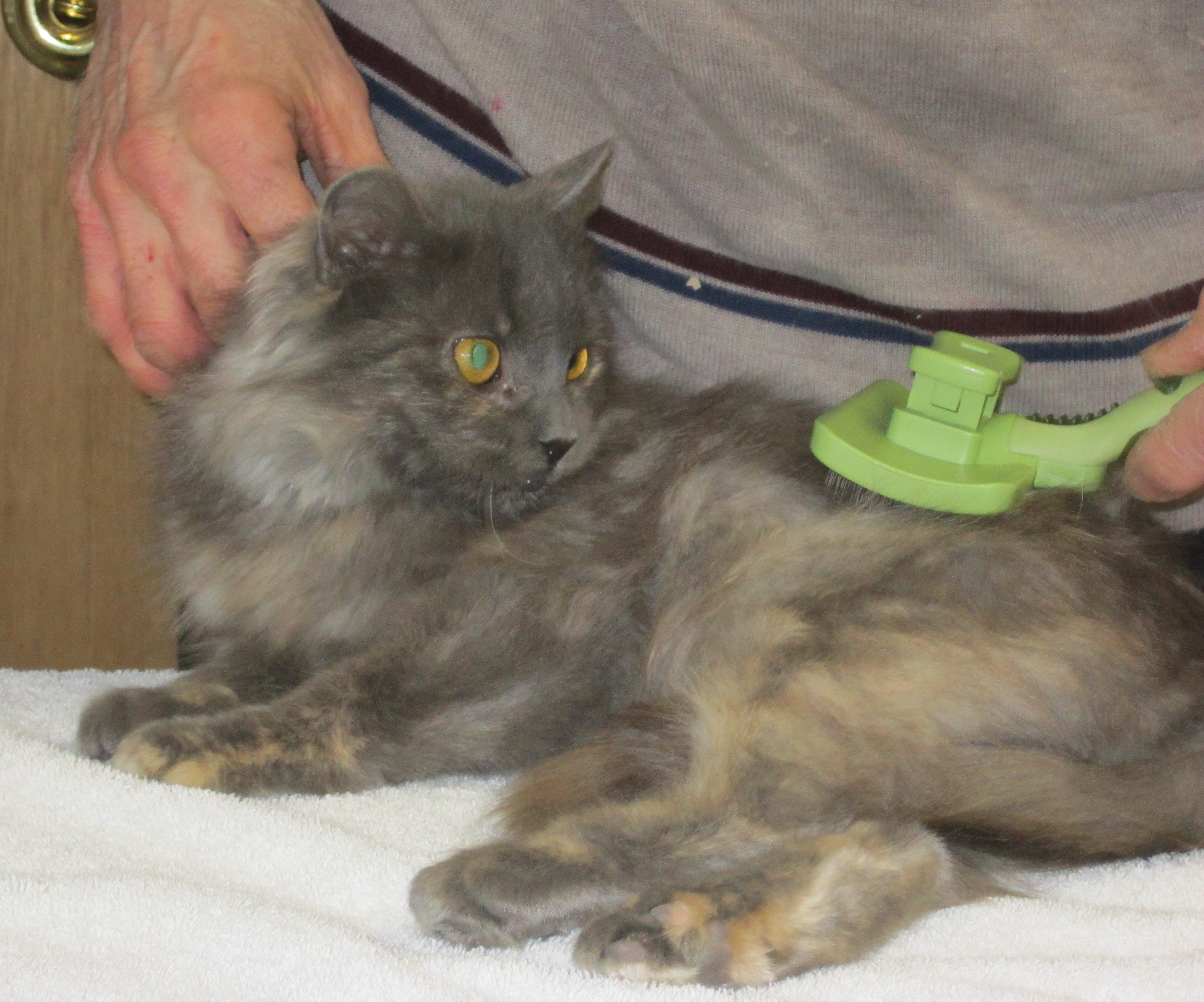 Beautiful rescue kitten Venus DeCoco was brushed for the first time today.