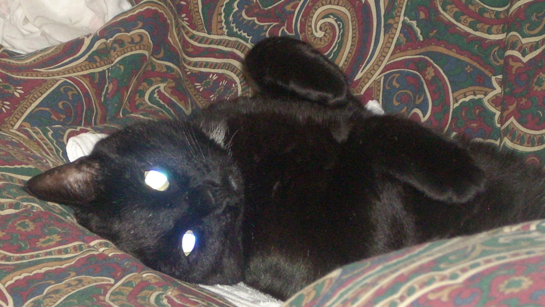 Metro Cat Rescue saved this black cat!