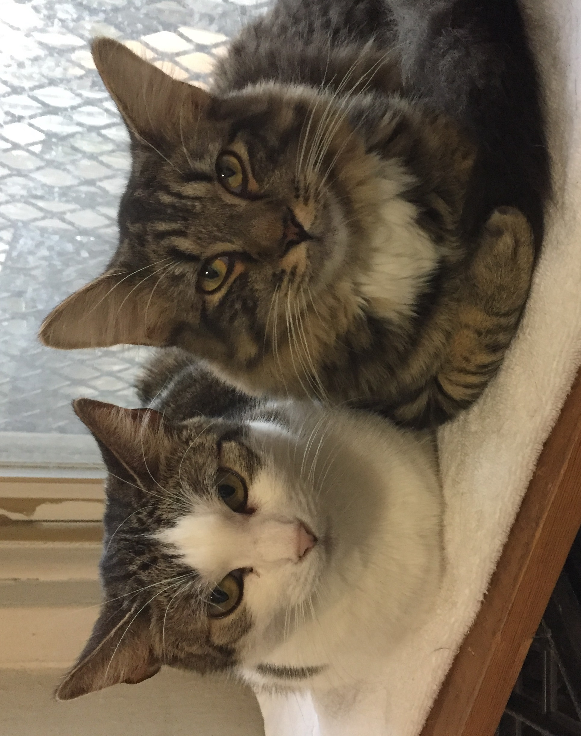 Jemma and Olaf relax together. Jemma and her six kittens were rescued two years ago from an old car about to be towed to the junkyard. A Metro Cat Rescue volunteer saved Olaf's mom from the streets so her babies would be born in a home.