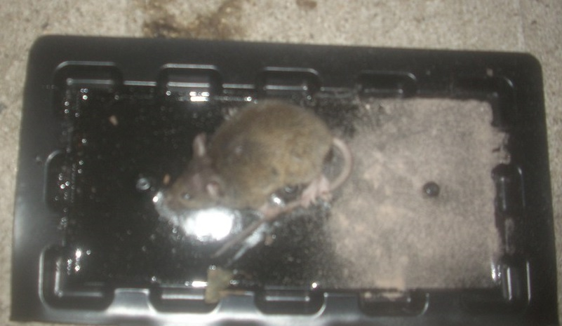 mouse in glue trap